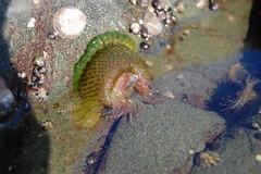 Sea Anemone (BRuke1) Tags: pugetsound lowtide orcasisland washingtonstate tidepool seaanemone straitofgeorgia georgiastrait