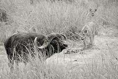 La peur dans le regard (orang_asli) Tags: africa nature animals cat tanzania mammal nationalpark buffalo chat lion champs fields tarangire lieux afrique mammifère buffle aficionados faune naturel tanzanie savane parcnational géographie gographie mammifre