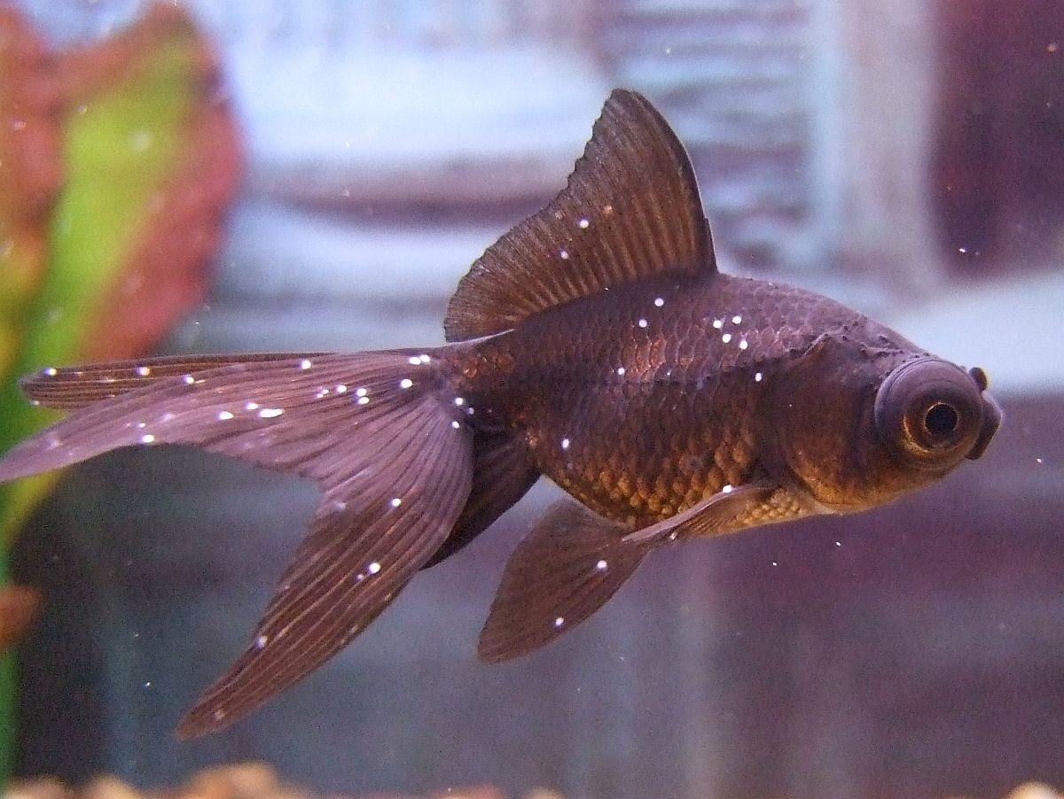 Baby Black Moor Goldfish I ve also posted another