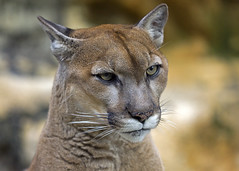 The Cat (Emery O) Tags: girl wisconsin cat canon bigcat greenbay cougar mountainlion wildlifesanctuary 180mm baybeach 50d specanimal