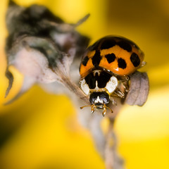Autumn Ladybird (Studyjunkie) Tags: macro closeup bug beetle ladybird mygarden orangeladybird project365 explore75 sigma50mmf28dgmacro 283365 project3661 t189project365 10thoctober2009