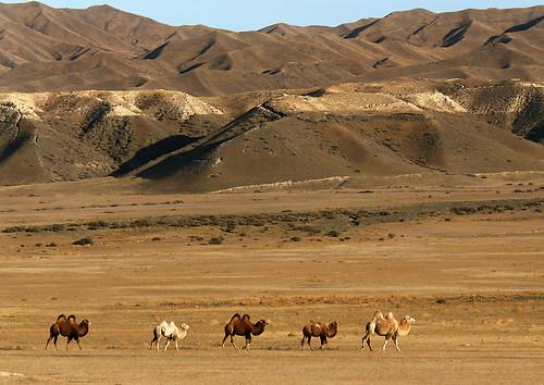 IMG_5737-w Camel