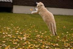 [フリー画像] [動物写真] [哺乳類] [ネコ科] [猫/ネコ] [跳ぶ/ジャンプ]      [フリー素材]