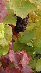 le beau Jeunet nouveau est arriv (L. A. Garchi) Tags: fall automne vin tribute hommage nouveau jeunet micmac leonardgarchi larigot allrightsreservedglas