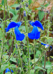 Out of the Blue at Great Comp Garden! (antonychammond) Tags: uk flowers blue england green leaves garden kent britain salvia flowersarebeautiful greatcompgarden wonderfulworldofflowers awesomeblossoms vosplusbellesphotos breathtakers travelsofhomerodyssey