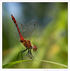 Equilibrist II. (_szimplansrac_mostly off) Tags: red macro nature insect dragonfly sony soe naturesfinest blueribbonwinner 50faves topshots specanimal platinumphoto anawesomeshot minoltaaf100f28macro overtheexcellence platinumheartaward macromarvels goldwildlife natureselegantshots spiritofphotography dslra300 qualitypixels fantasticinsect panoramafotogrfico dragondaggeraward saariysqualitypictures thebestofmimamorsgroups