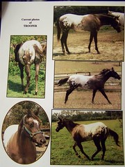 Grandson of Dreamfinder (stallion Service) 16hands (LOMtnMom) Tags: horses horse animal animals appaloosa big large tags chestnut tall liver stallion allaround dreamfinder appaloosastallion colorproducer studfee geo:lat=34572433 geo:lon=85576983 equinenow:user=34104 160hands stallionatstud appaloosablacksnowcapstallion
