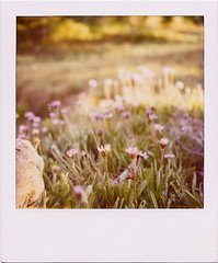 Mount Jefferson purple wildflowers by polaroidmandy