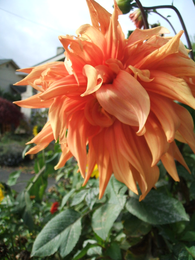 Lion-ish Orange Dahlia