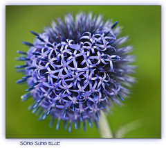 Song Sung Blue (inky2008.....) Tags: blue flower macro nature closeup canon globethistle echinops gardenflower beautifulmacro naturesgarden bej fabulousflowers diamondclassphotographer flickrdiamond naturescarousel