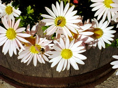 thanksgiving daisies (moocatmoocat) Tags: flowers philadelphia daisies insect fly bee tub