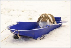 Snow Rider ! (Canonshot Mole) Tags: christmas winter pet white snow rabbit bunny interestingness explore smokey sledge top500 dwarflop