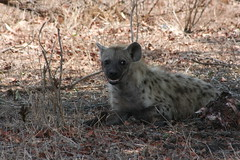 Spotted Hyena (The Big5) Tags: africa park bridge nature animals southafrica near wildlife south crocodile spotted mammals hyena krugernationalpark kruger wildanimals skukuza spottedhyena 400d