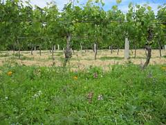 Ata Rangi Vineyard Vines