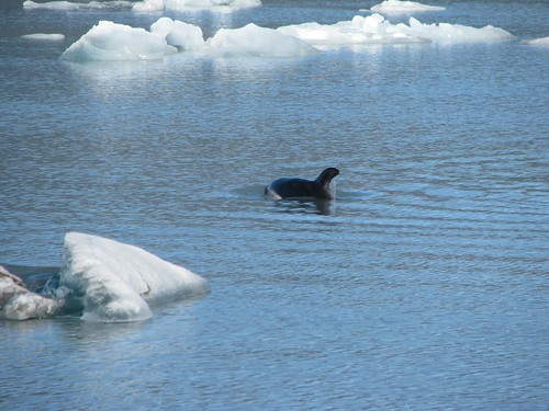 dolphin foraging in ice