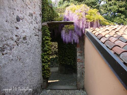 Isola Madre wisteria 3