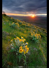 Steptoe Sunrise (pdxsafariguy) Tags: flower clouds sunrise washington spring wildflowers palouse balsamroot sunstar tomschwabel steptoebutte