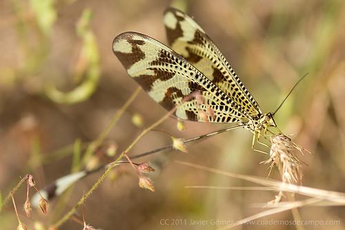 Nemoptera bipennis, un neuróptero