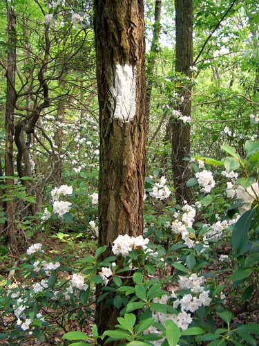 Mountain Laurel White Blaze