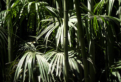 Jungle (alpha du centaure) Tags: macro architecture de photos picture images bambou dmc photographe cvennes visuels photosofart lumixpanasonic naturalphotos dmcfz18 alphaducentaure photosartistique stephanemarechal photosdenature photosdart photosartistic fz38panasonicphotographeranduzebambouseraiebambouasieasiatiquefortfort