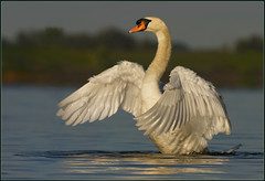 Standing Ovation (hvhe1) Tags: morning light male bird nature animal nationalpark swan wings bravo wildlife swamp waterfowl biesbosch wetland naturesfinest specanimal hvhe1 hennievanheerden avianexcellence