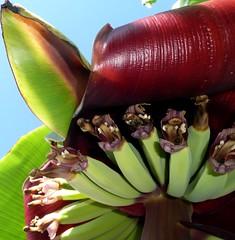(Lara's  Stuff) Tags: botanical banana bananas bananaplant inflorescence musaceae bananabunch herbaceousplant bananablossoms handsofbananas beesbuttocks