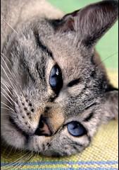 Gordu (: metamorfosis :) Tags: animal azul cat cara bigotes ojos gato descansar felino mirada mascota gat rocco gordo nene orejas bigotis orelles gordu migordu