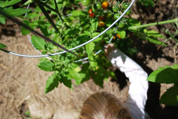 Tomato hoop