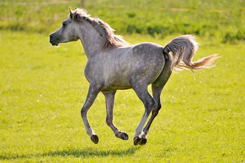 フリー画像| 動物写真| 哺乳類| 馬/ウマ| 白馬|       フリー素材|