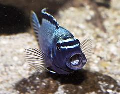 Membe Deep (Ciclidfan) Tags: fish pez peces malawi mbuna mbunas