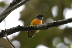 Orange-bellied Flowerpecker (AMNOOR) Tags: birds burung flowerpecker malaysianbirds sonyalpha200 burungmalaysia sal70400g orangebellyflowerpecker