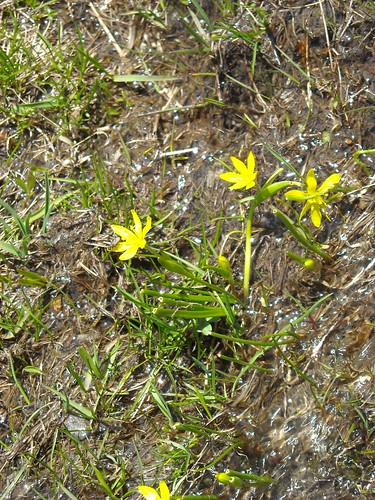 Yellow Star-of-Bethlehem (Gagea fistulosa)