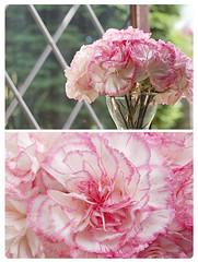 raspberry ripple (True Story's girl) Tags: pink flowers diptych carnations cutflowers comeonengland iloveandrewflintoff