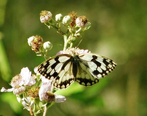 En la caminata, mariposa 3