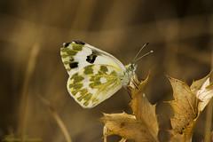 _MG_5260 (Ramss Guzmn) Tags: espaa badajoz mariposa ramses insecto mrida sigma70300 eos450d sesmar
