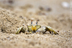 Are you looking at me ?!? (Ammar Alothman) Tags: canon flickr gulf wildlife crab kuwait 2009 ammar kuwaitcity kw q8 smallcrab عمار vwc alothman ammaralothman 3mmar عمارالعثمان kuwaitpictures كانون canonef500mmf4lisusm kuwaitiphotographer kuwaitphoto kuwaitphotos ammarphotos ammarq8 ammarphoto ammarphotography kuwaitpic kuwaitpictrue whereiskuwait canonef14xiiextender kvwc canoneos5dmarkii kuwaitvoluntaryworkcenter مركزالعملالتطوعي kuwaitvwc ammarq8com ammarphotocom
