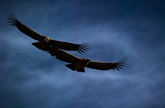 Condors, Cruz del Condor, Colca Canyon, Peru (Marco Boekestijn) Tags: life street plaza trip travel people woman lake holiday snow man tourism alpaca peru fountain del waterfall nikon ruins gate cathedral market armas traditional group flight lagoon tourist canyon cruz marco lama guide condor tops agricultural colca vicuna terrasses d80 boekestijn