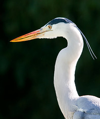 Grey Heron (Marc_Scott-Parkin) Tags: bird heron wildlife ardea cinerea