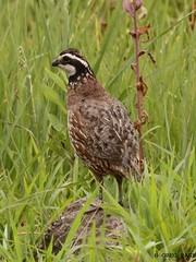 Northern Bobwhite (gregpage1465) Tags: male bird nature photo greg wildlife picture indiana page marsh northern quail gamebird bobwhite goosepond northernbobwhite gregpage beehunter