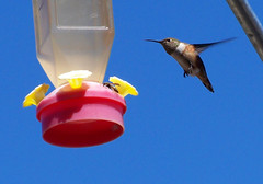 Humming bird buzzing