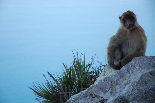 Ape posing 1