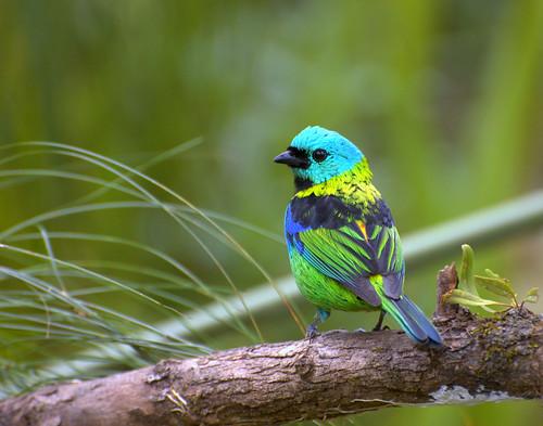 フリー画像| 動物写真| 鳥類| 野鳥| ミドリズキンフウキンチョウ|       フリー素材|