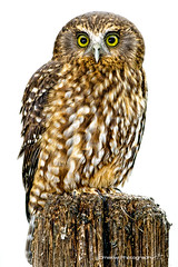 Ruru (omakiwi) Tags: new bird beak feather zealand nz morepork specanimal omakiwi
