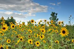 Sunflower State of Mind (NaturalLight) Tags: park creek state sunflower kansas wildflowers wichita chisholm chisholmcreekpark diamondclassphotographer flickrdiamond