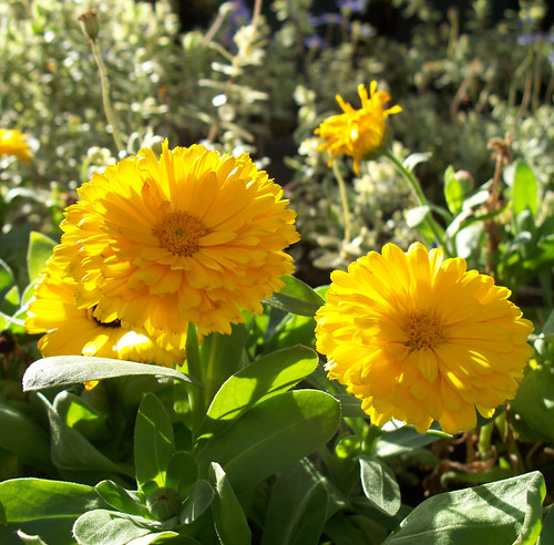 Yellow Calendula Flowers by katiealley on Flickr
