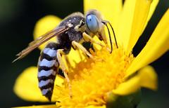 The alien has landed (San Diego Shooter) Tags: wallpaper macro sandiego bee desktopwallpaper bluebee week12 beemacro bluebandedbee challengeyouwinner thepinnaclehof tphof tphofweek12 sandiegodesktopwallpaper