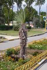 Un mic palmier pe promenada din Mamaia