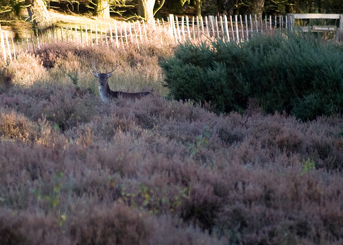 Close up of stag in the heather