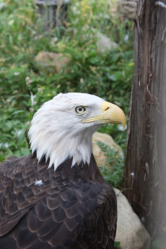 A Bald Eagle from the Columbia Park Zoo