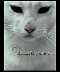 فمـأ إ أ إ ن الله ؛ والا أقول :: فمآن إبليـ ـ ـ ـ ـس وأصحابـه (miss.rita_alstroemeria) Tags: cat dark صوره قطه قطوه بسه بسينه